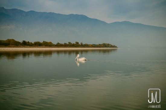 A pelican swims on Lake Kerkini, Greece